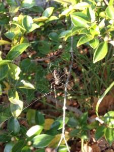 SPring-8敷地内のジョロウグモ(メス)